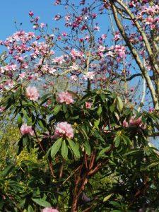 rhodo cross and the magnolia