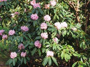 pink decorum x FJW rookery hybrid