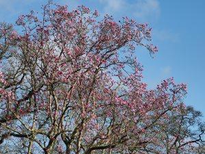 record Magnolia campbellii