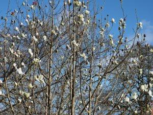 yellow flowered Magnolia campbellii
