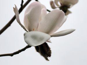 Magnolia campbellii 'Ethel Hillier'
