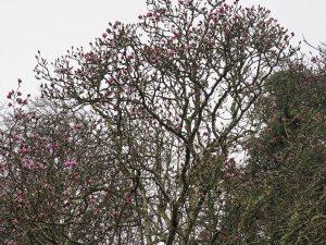 Magnolia mollicomata seedling