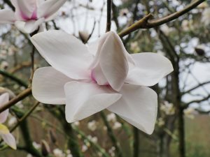 Magnolia 'Peter Smithers'
