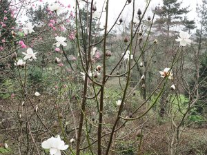 Magnolia 'Mount Pironga'