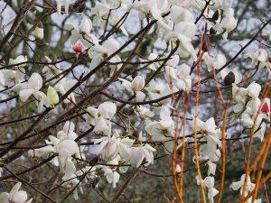 yellow form of Magnolia campbellii