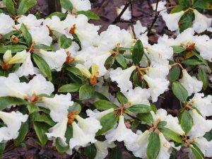 Rhododendron 'Maisie'
