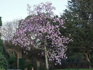 Magnolia 'Delia Williams'