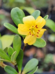 Rhododendron sororium aff