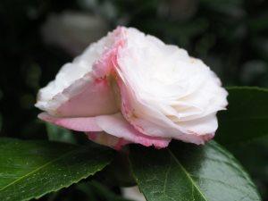 Camellia 'Desire'