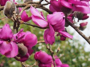 Magnolia campbellii subsp. mollicomata 'Lanarth'