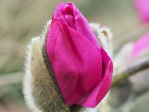 Magnolia campbellii 'Betty Jessel'
