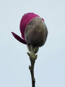 Magnolia 'Anne Leitner' ('Black Tulip' x Magnolia 'J C Williams')