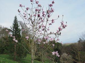 Magnolia 'Mossman's Giant'