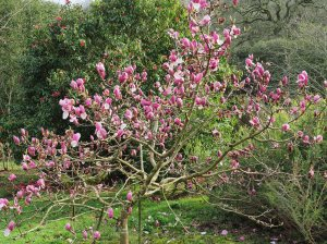 Magnolia 'Todd's Forty Niner'