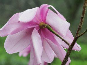 Magnolia campbellii 'Blood Moon'