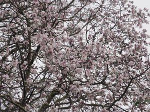 Magnolia campbellii subsp. mollicomata seedling