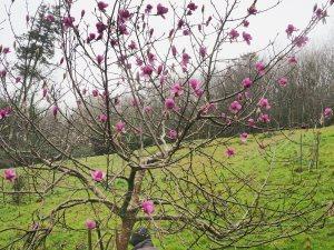 Magnolia 'Eleanor May'