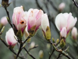 Magnolia 'Fireglow'