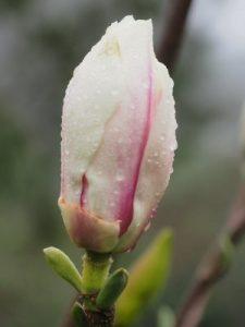 Magnolia 'Pickard's Crystal'