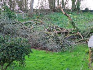 huge fallen oak