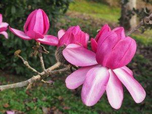 Magnolia campbelli 'Darjeeling'