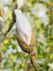 Magnolia 'Albatross'
