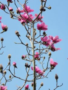 Magnolia 'Philip's Surprise'