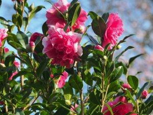 Camellia 'Anticipation Variegated'