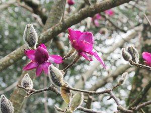 Magnolia 'Bishop Michael'