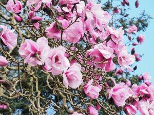 original Magnolia 'Caerhays Belle'