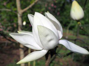 yellow form of Magnolia campbellii 'Alba'