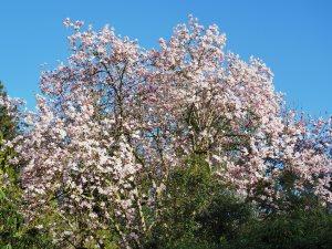 Magnolia campbellii 'Alba' seedling
