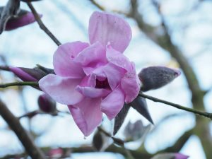 Magnolia 'Mr Julian'