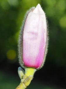 Magnolia 'Rebecca's Perfume'
