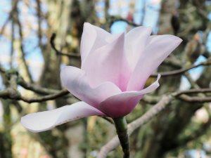 Magnolia sargentiana var. robusta seedling