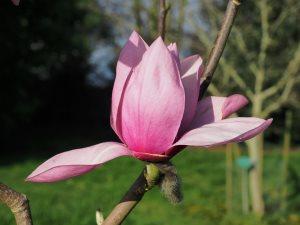 Magnolia 'Vairano'