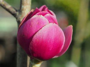 Magnolia 'Vulcan' x 'Black Tulip'