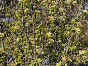 Sorbus aff. ligustrifolia