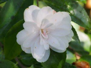 Camellia 'Fairy Wand'