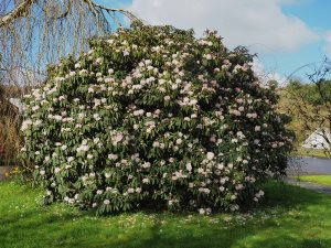 rhododendron beside the road at the bottom of the hill in Grampound