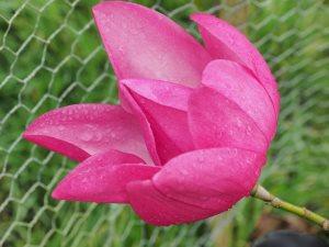 Magnolia campbellii 'Wakehurst'