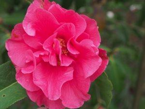 Camellia reticulata 'Captain Rawes'