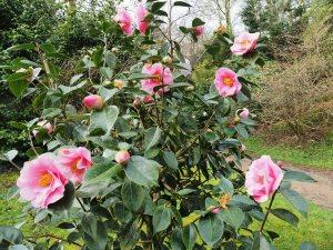 Camellia reticulata 'Lasca Beauty'