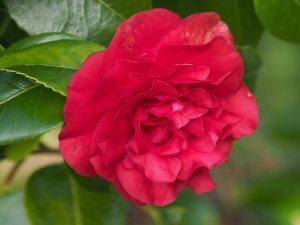Camellia 'Ruby Wedding'