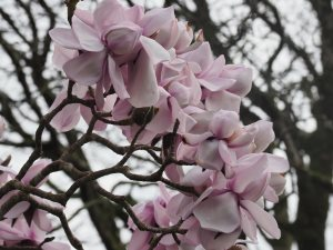 Magnolia campbellii subsp. mollicomata