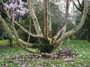 Magnolia campbellii subsp. mollicomata '