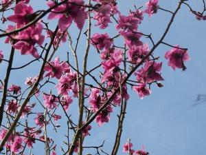 Magnolia 'Lanarth Surprise'