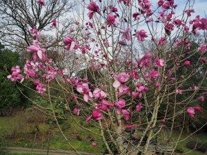 Magnolia sprengeri 'Diva' var. 'Burncoose'