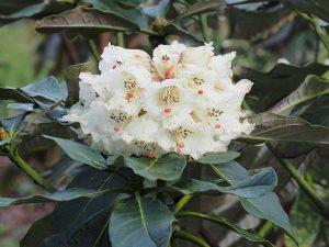 Rhododendron sinogrande seedling