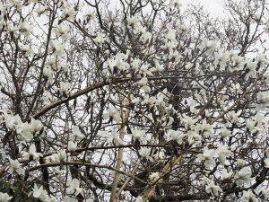 Magnolia campbellii 'Alba'